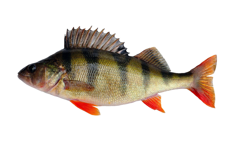 Fisk Veckans Fisk